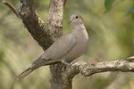 Eurasian Collared-Dove in mid-March.