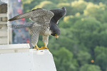 Adult female Peregrine Falcon in early June perched on nest box overlooking Central Park.