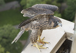 Nestling female Peregrine Falcon stretches her wings while perched on nest ledge two days before fledging.