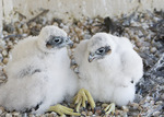 Peregrine Falcon nestlings, twenty-two-days-old, at nest.