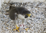 Adult female Peregrine Falcon in nest box with partially-eaten Rock Pigeon (Columba livia) in late June.