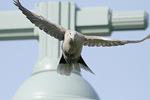 Eurasian Collared-Dove. July 21, 2014.