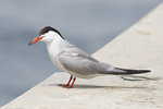 Common Tern in late July.