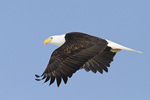 Adult Bald Eagle in flight in late February.