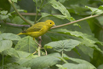 Immature Yellow Warbler on fall migration in late July.