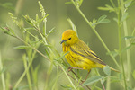 Adult male Yellow Warbler carrying food for fledgling in early July.