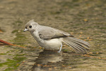 Immature Tufted Titmouse bathing in late July.