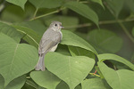 Immature Tufted Titmouse in Japanese Knotweed in late July.