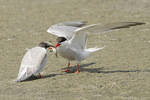 Adult Common Tern feeding juvenile in late July.