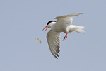 Common Tern fishing in late July.