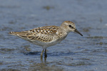 Juvenile Least Sandpiper in mid-August on fall migration.