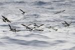 Flock of Wilson's Storm-Petrels feeding in mid-August.