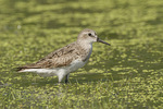 Adult Semipalmated Sandpiper in early August on fall migration.