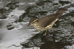Northern Waterthrush foraging in a shallow stream in mid-August on fall migration.