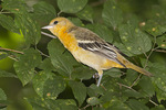 Immature Baltimore Oriole in mid-August.