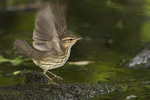 Northern Waterthrush in late August on fall migration.