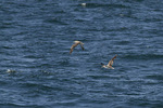 Cory's Shearwater in late August.