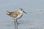 Western Sandpiper in late August on fall migration.