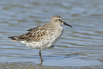 White-rumped Sandpiper on fall migration in late August.