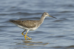 Juvenile Greater Yellowlegs in early September on fall migration.