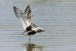 Adult Black-bellied Plover stretching its wings in early September on fall migration.