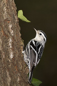 Black-and-white Warbler in September on fall migration.
