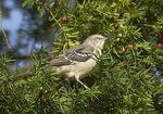 Northern Mockingbird foraging in Yew.