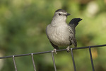 Gray Catbird perched on a fence.