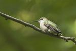 Female Ruby-throated Hummingbirdin September on fall migration.