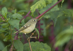 Ruby-crowned Kinglet in Pokeweed in late September on fall migration.