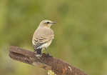 Northern Wheatear in early October on fall migration.