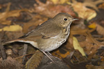 First-fall Hermit Thrush in mid-October on fall migration.
