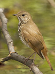 Hermit Thrush in early May on spring migration.