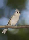 Tufted Titmouse in mid-October. Evodia Field, Central Park. New York, NY.