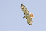Adult Red-tailed Hawk in flight.