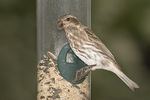 Female or Immature Purple Finch visits a feeder in mid-October on fall migration.