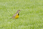 Eastern Meadowlark in mid-October on fall migration.