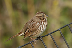 Song Sparrow in mid-October on fall migration.