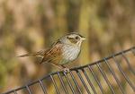 Swamp Sparrow in mid-October on fall migration.
