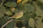 Adult Orange-crowned Warbler in mid-October on fall migration.