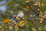 Northern Mockingbird in crab apple in early November.