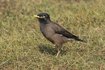Common Myna (Acridotheres tristis) in late November.