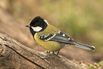 Green-backed Tit (Parus monticolus) in late November.