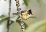 Whiskered Yuhina (Yuhina flavicollis) in late November.
