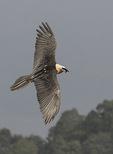 Adult Lammergeier or Bearded Vulture (Gypaetus barbatus) in flight in late November.