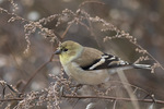 Male American Goldfinch (Spinus tristis) in early December.