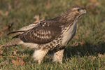Immature Red-tailed Hawk (Buteo jamaicensis) in early December.