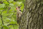 Adult male Northern Flicker in mid-May.