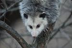 Virginia Opossum in mid-December. Central Park. New York, NY.