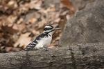 Male Hairy Woodpecker in mid-December.